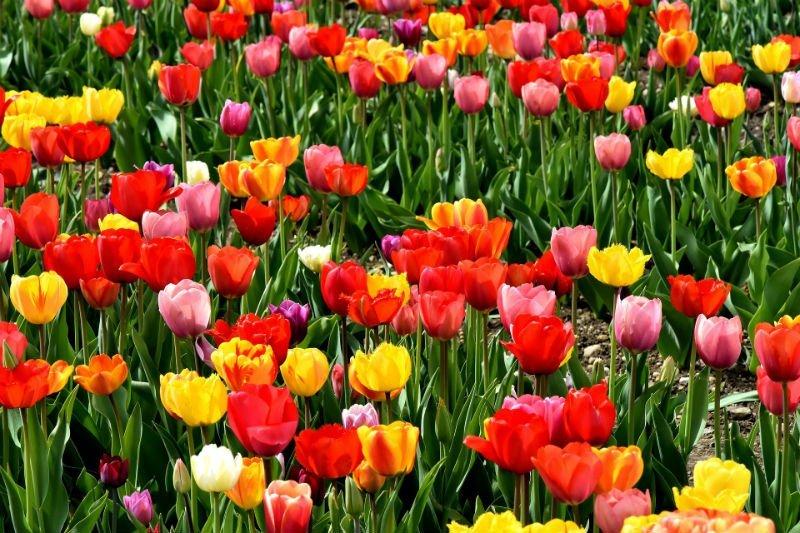 tulipe youth